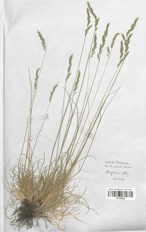 https://bibliotheque-virtuelle.bu.uca.fr/files/fichiers_bcu/Poaceae_Festuca_marginata_marginata_CLF120401.jpg