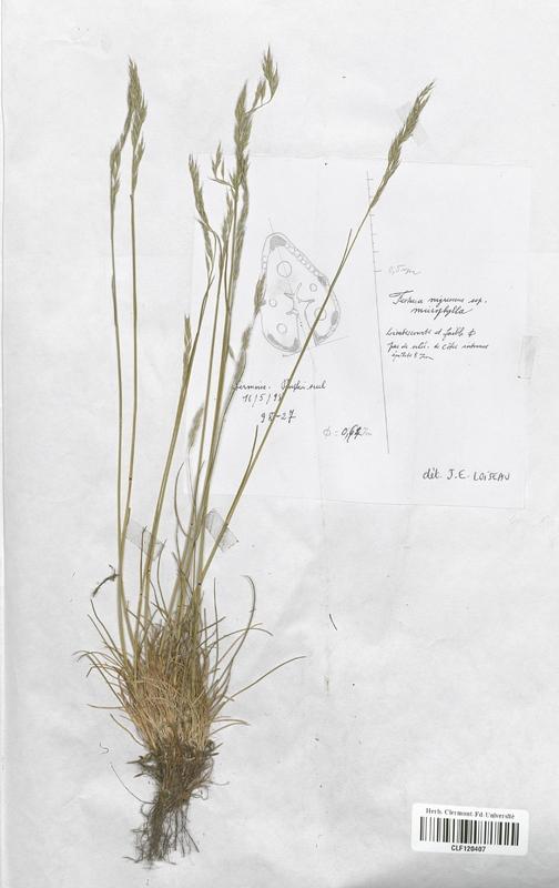 https://bibliotheque-virtuelle.bu.uca.fr/files/fichiers_bcu/Poaceae_Festuca_nigrescens_microphylla_CLF120407.jpg