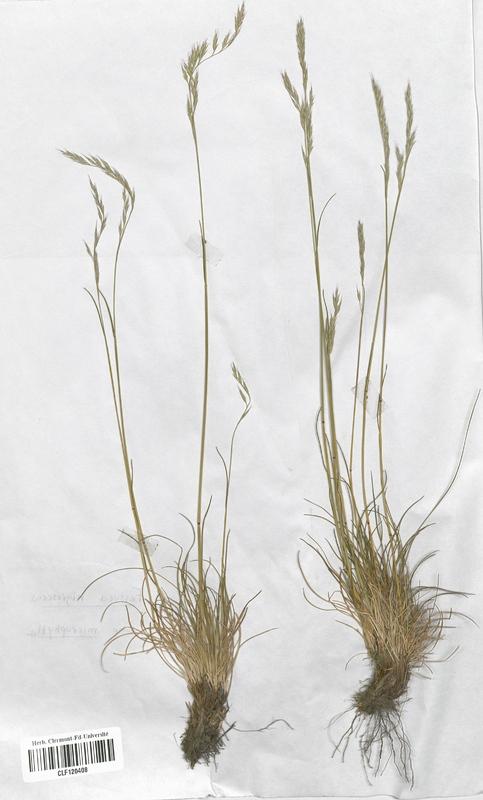 https://bibliotheque-virtuelle.bu.uca.fr/files/fichiers_bcu/Poaceae_Festuca_nigrescens_microphylla_CLF120408.jpg
