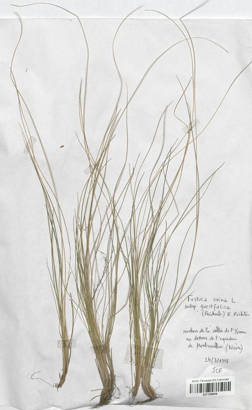 https://bibliotheque-virtuelle.bu.uca.fr/files/fichiers_bcu/Poaceae_Festuca_ovina_guestfalica_CLF120349.jpg