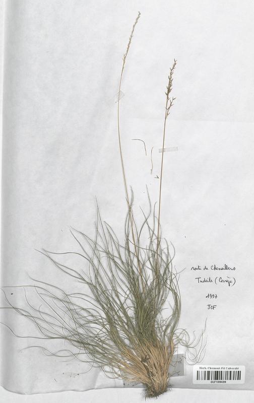 https://bibliotheque-virtuelle.bu.uca.fr/files/fichiers_bcu/Poaceae_Festuca_ovina_guestfalica_CLF120420.jpg