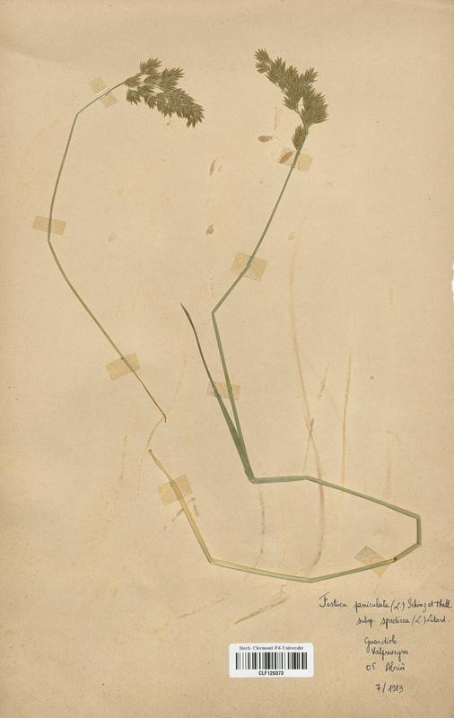 https://bibliotheque-virtuelle.bu.uca.fr/files/fichiers_bcu/Poaceae_Festuca_paniculata_CLF120373.jpg