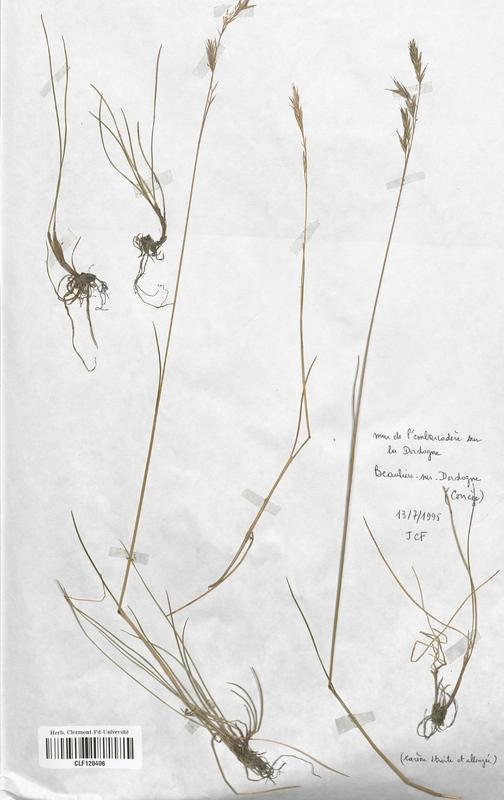 https://bibliotheque-virtuelle.bu.uca.fr/files/fichiers_bcu/Poaceae_Festuca_rivularis_CLF120406.jpg