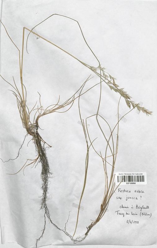 https://bibliotheque-virtuelle.bu.uca.fr/files/fichiers_bcu/Poaceae_Festuca_rubra_juncea_CLF120350.jpg