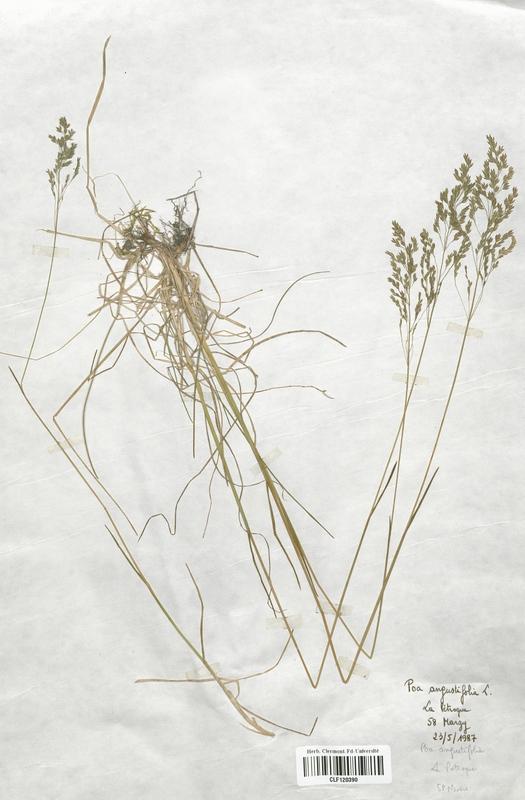https://bibliotheque-virtuelle.bu.uca.fr/files/fichiers_bcu/Poaceae_Poa_angustifolia_CLF120390.jpg