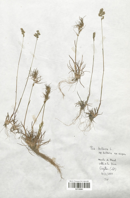 https://bibliotheque-virtuelle.bu.uca.fr/files/fichiers_bcu/Poaceae_Poa_bulbosa_CLF120381.jpg