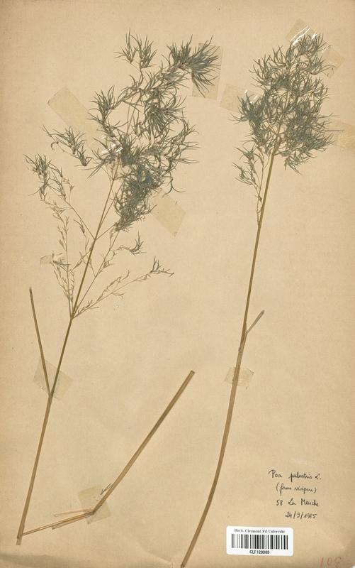 https://bibliotheque-virtuelle.bu.uca.fr/files/fichiers_bcu/Poaceae_Poa_palustris_vivipara_CLF120383.jpg