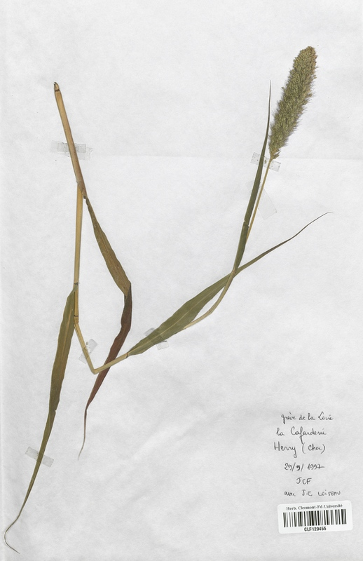 https://bibliotheque-virtuelle.bu.uca.fr/files/fichiers_bcu/Poaceae_Setaria_italica_CLF120455.jpg