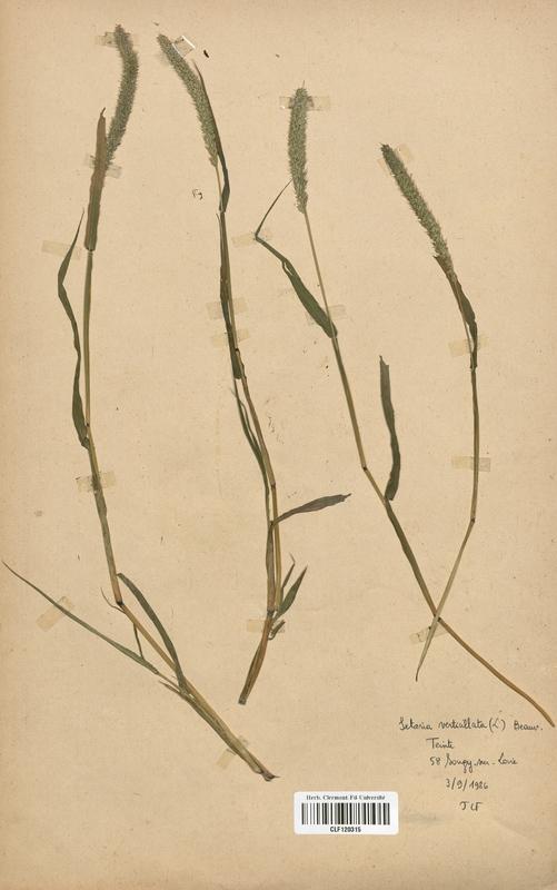https://bibliotheque-virtuelle.bu.uca.fr/files/fichiers_bcu/Poaceae_Setaria_verticillata_CLF120315.jpg