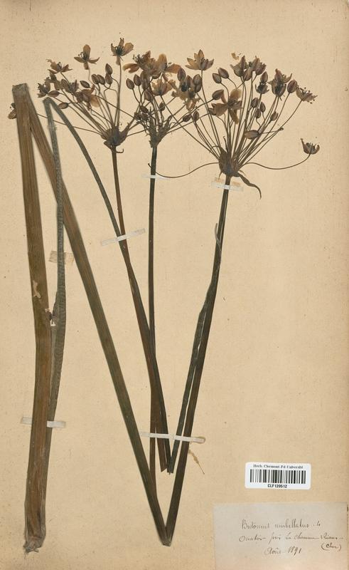 https://bibliotheque-virtuelle.bu.uca.fr/files/fichiers_bcu/Butomaceae_Butomus_umbellatus_CLF120512.jpg