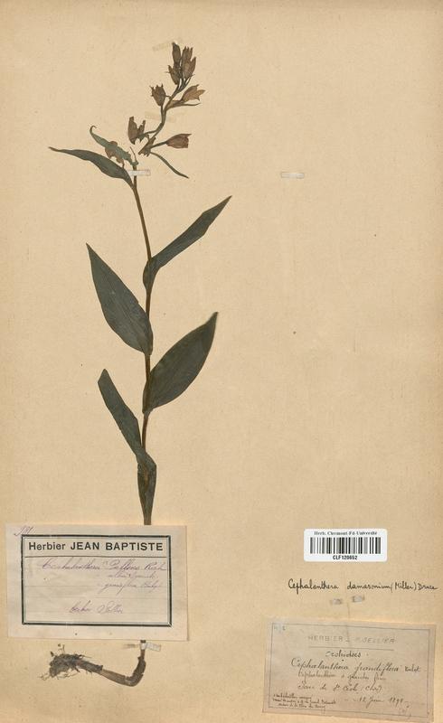 https://bibliotheque-virtuelle.bu.uca.fr/files/fichiers_bcu/Orchidaceae_Cephalanthera_damasonium_CLF120652.jpg