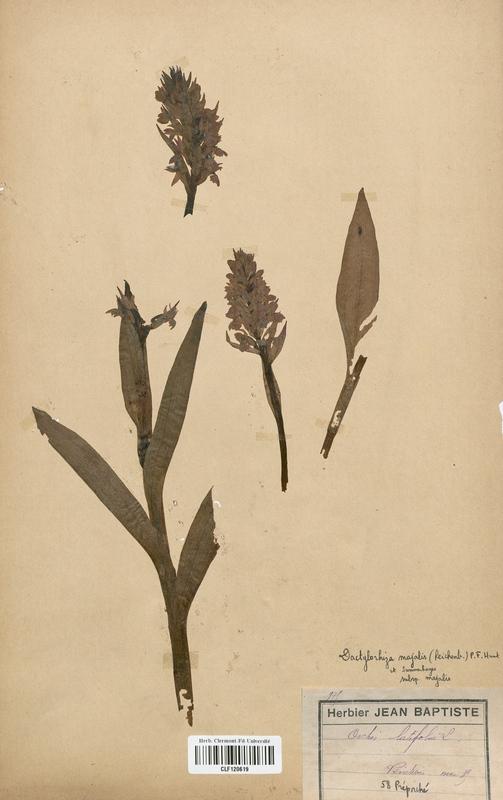 https://bibliotheque-virtuelle.bu.uca.fr/files/fichiers_bcu/Orchidaceae_Dactylorhiza_majalis_CLF120619.jpg