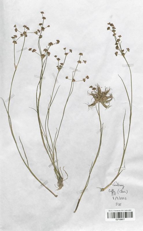 https://bibliotheque-virtuelle.bu.uca.fr/files/fichiers_bcu/Juncaceae_Juncus_articulatus_CLF120677.jpg