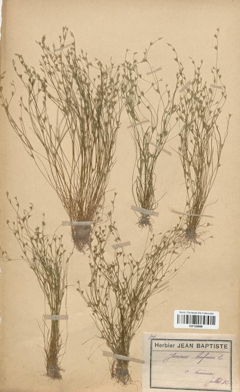 https://bibliotheque-virtuelle.bu.uca.fr/files/fichiers_bcu/Juncaceae_Juncus_bufonius_CLF120686.jpg