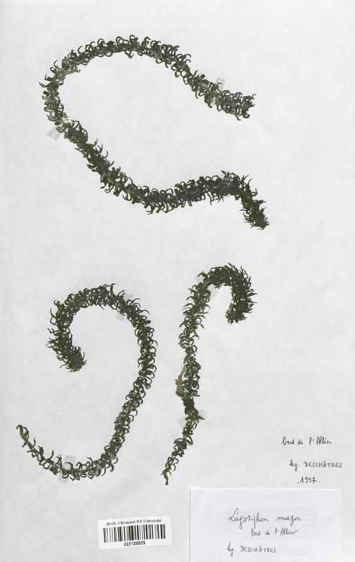 https://bibliotheque-virtuelle.bu.uca.fr/files/fichiers_bcu/Hydrocharitaceae_Lagarosiphon_major_CLF120525.jpg