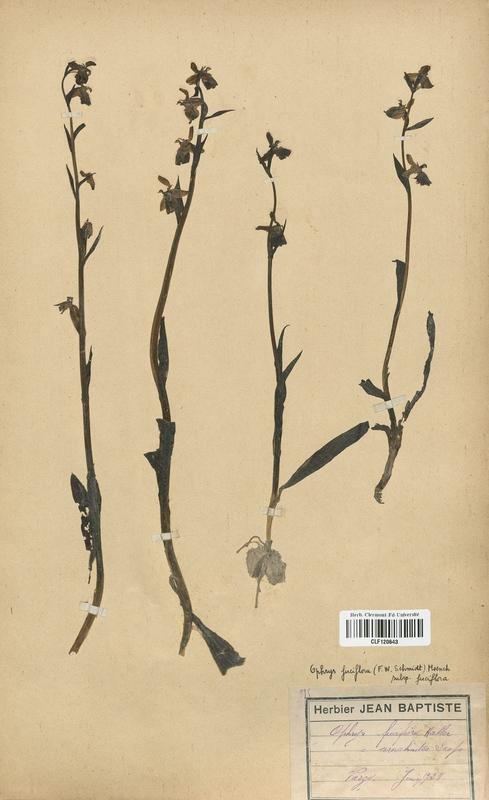 https://bibliotheque-virtuelle.bu.uca.fr/files/fichiers_bcu/Orchidaceae_Ophrys_fuciflora_CLF120643.jpg