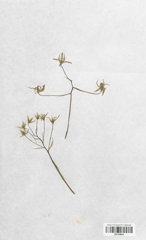https://bibliotheque-virtuelle.bu.uca.fr/files/fichiers_bcu/Liliaceae_Ornithogalum_angustifolium_CLF120549.jpg