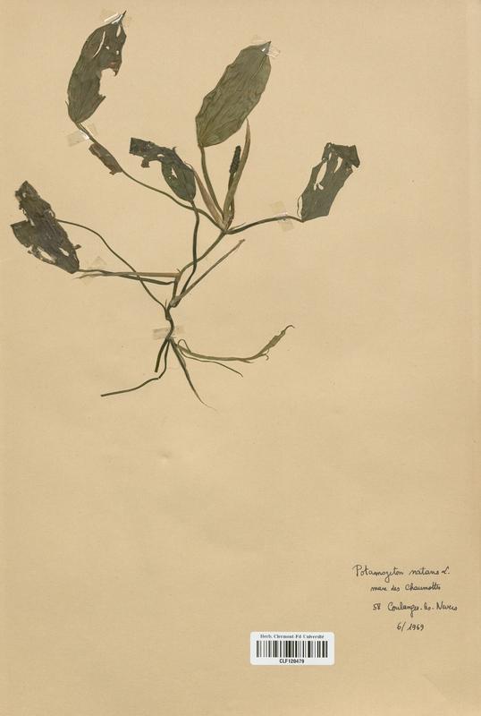 https://bibliotheque-virtuelle.bu.uca.fr/files/fichiers_bcu/Potamogetonaceae_Potamogeton_natans_CLF120479.jpg