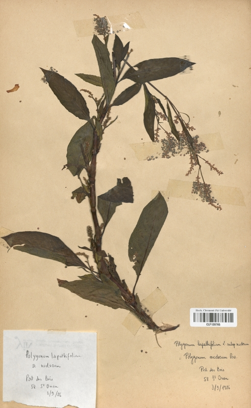 https://bibliotheque-virtuelle.bu.uca.fr/files/fichiers_bcu/Polygonaceae_Polygonum_lapathifolium_nodosum_CLF120765.jpg
