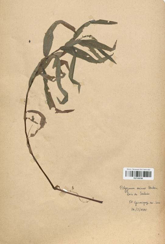 https://bibliotheque-virtuelle.bu.uca.fr/files/fichiers_bcu/Polygonaceae_Polygonum_minus_CLF120760.jpg