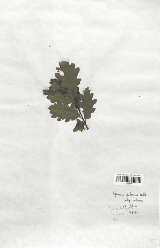 https://bibliotheque-virtuelle.bu.uca.fr/files/fichiers_bcu/Fagaceae_Quercus_pubescens_CLF120777.jpg