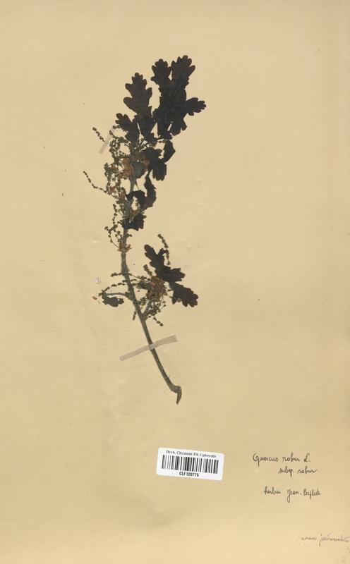 https://bibliotheque-virtuelle.bu.uca.fr/files/fichiers_bcu/Fagaceae_Quercus_robur_CLF120775.jpg