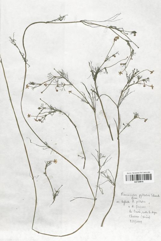 https://bibliotheque-virtuelle.bu.uca.fr/files/fichiers_bcu/Renonculaceae_Ranunculus_peltatus_CLF120815.jpg