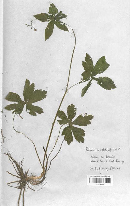 https://bibliotheque-virtuelle.bu.uca.fr/files/fichiers_bcu/Renonculaceae_Ranunculus_platanifolius_CLF120816.jpg