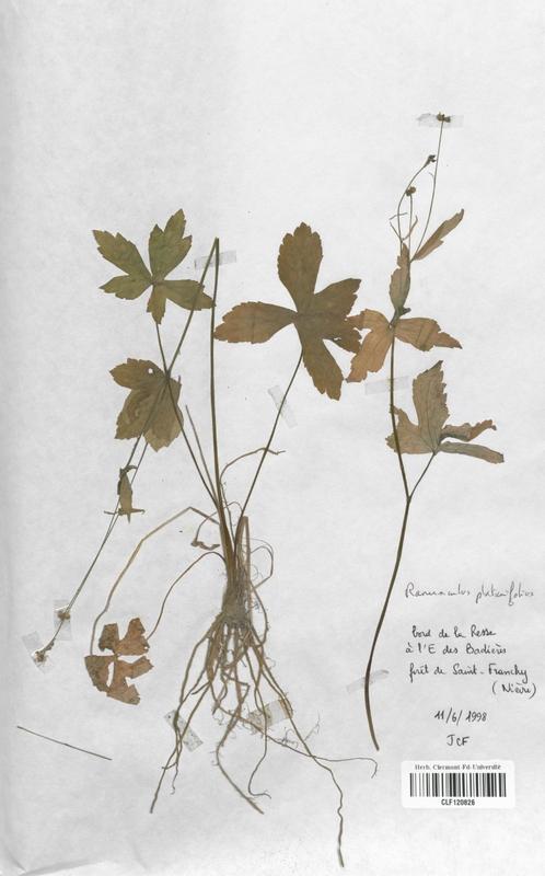 https://bibliotheque-virtuelle.bu.uca.fr/files/fichiers_bcu/Renonculaceae_Ranunculus_platanifolius_CLF120826.jpg