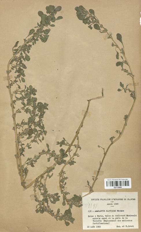 https://bibliotheque-virtuelle.bu.uca.fr/files/fichiers_bcu/Amarantaceae_Amarantus_blitoides_CLF113064.jpg