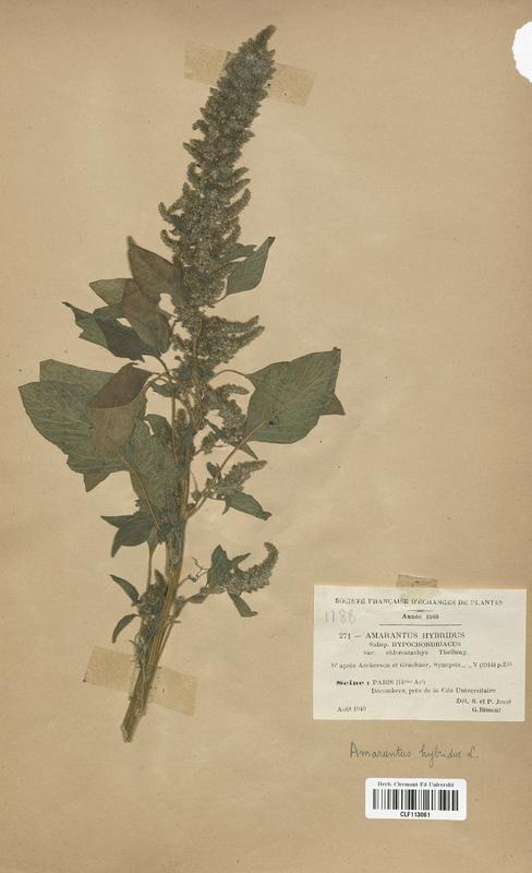 https://bibliotheque-virtuelle.bu.uca.fr/files/fichiers_bcu/Amarantaceae_Amarantus_hybridus_chlorostachys_CLF113061.jpg
