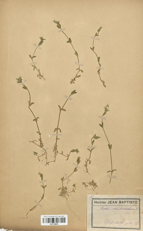 https://bibliotheque-virtuelle.bu.uca.fr/files/fichiers_bcu/Caryophyllaceae_Cerastium_semidecandrum_CLF113010.jpg
