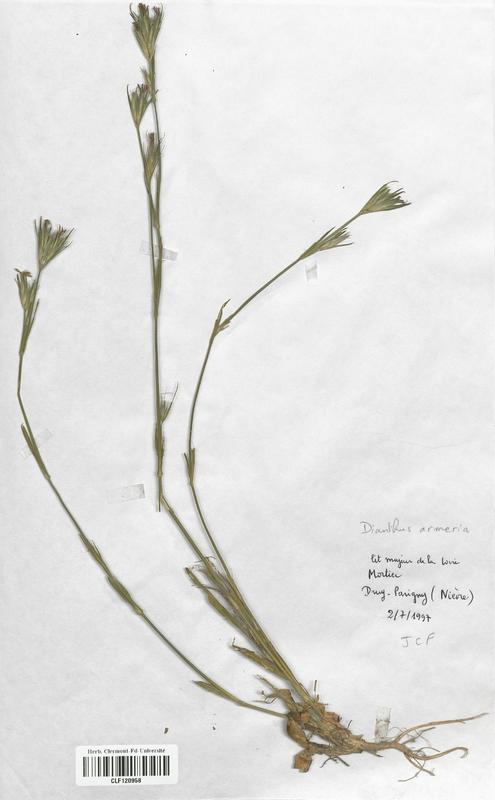 https://bibliotheque-virtuelle.bu.uca.fr/files/fichiers_bcu/Caryophyllaceae_Dianthus_armeria_CLF120958.jpg