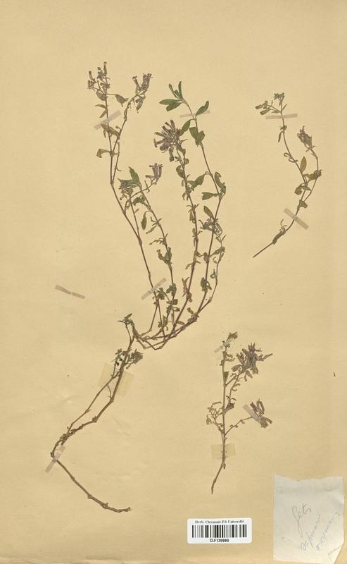 https://bibliotheque-virtuelle.bu.uca.fr/files/fichiers_bcu/Caryophyllaceae_Saponaria_ocymoides_CLF120980.jpg