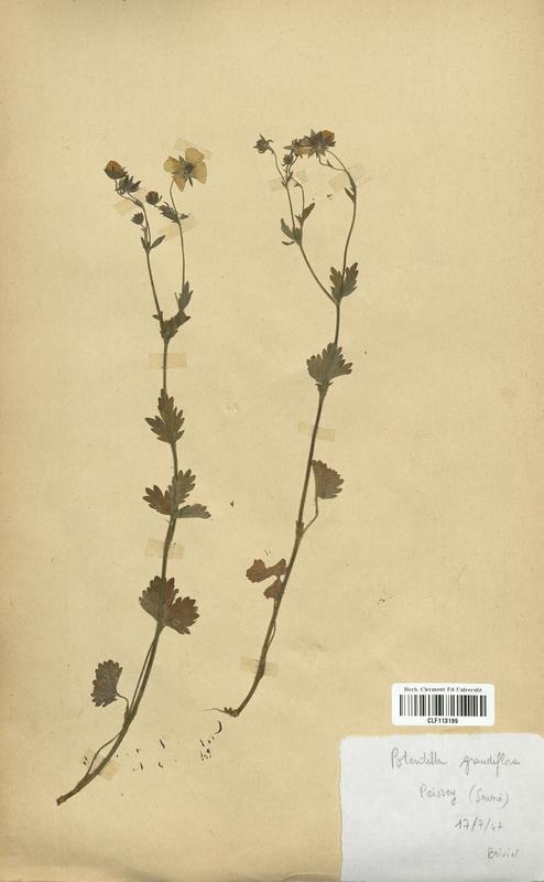 https://bibliotheque-virtuelle.bu.uca.fr/files/fichiers_bcu/Rosaceae_Potentilla_grandiflora_CLF113199.jpg