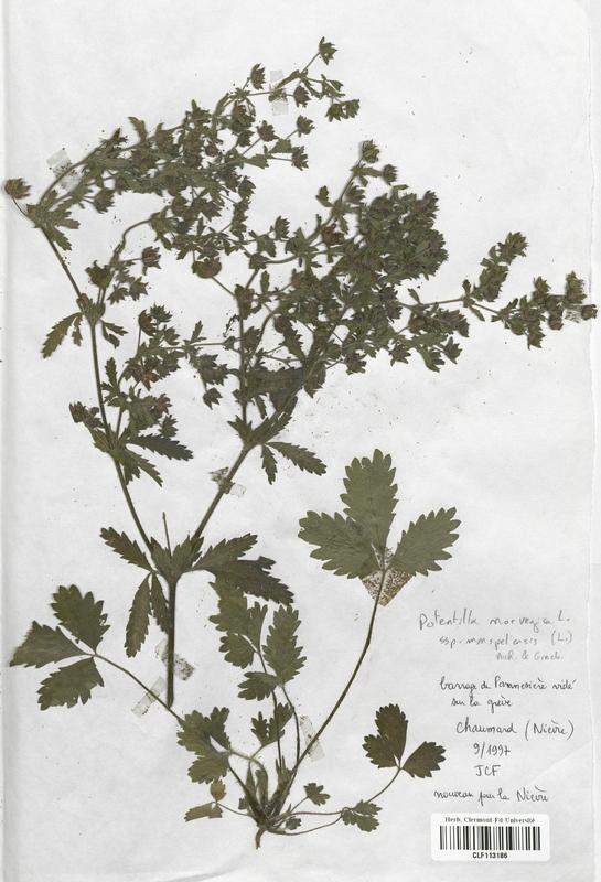 https://bibliotheque-virtuelle.bu.uca.fr/files/fichiers_bcu/Rosaceae_Potentilla_norvegica_monspeliensis_CLF113186.jpg