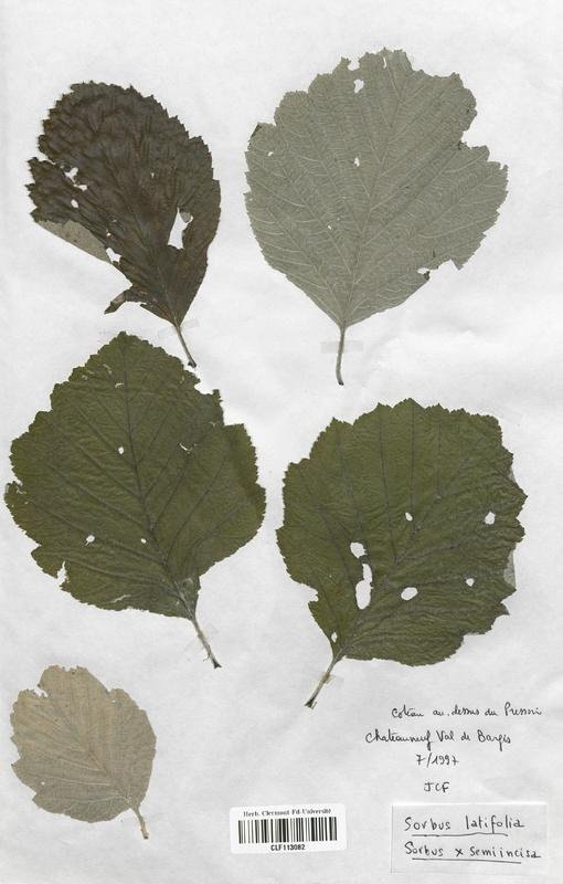 https://bibliotheque-virtuelle.bu.uca.fr/files/fichiers_bcu/Malaceae_Sorbus_latifolia_CLF113082.jpg