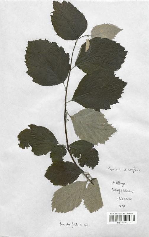https://bibliotheque-virtuelle.bu.uca.fr/files/fichiers_bcu/Malaceae_Sorbus_x_confusa_CLF113210.jpg