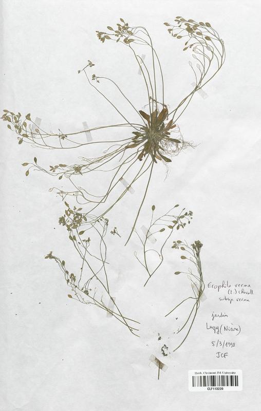 https://bibliotheque-virtuelle.bu.uca.fr/files/fichiers_bcu/Brassicaceae_Erophila_verna_CLF113220.jpg