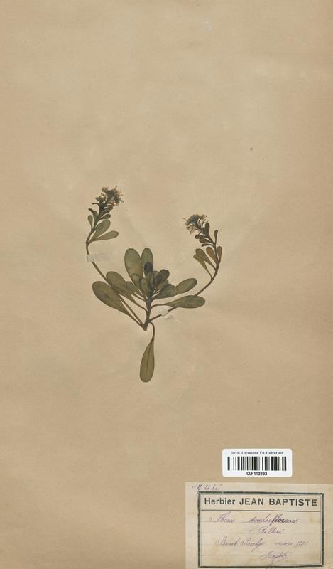 https://bibliotheque-virtuelle.bu.uca.fr/files/fichiers_bcu/Brassicaceae_Iberis_sempervirens_CLF113293.jpg