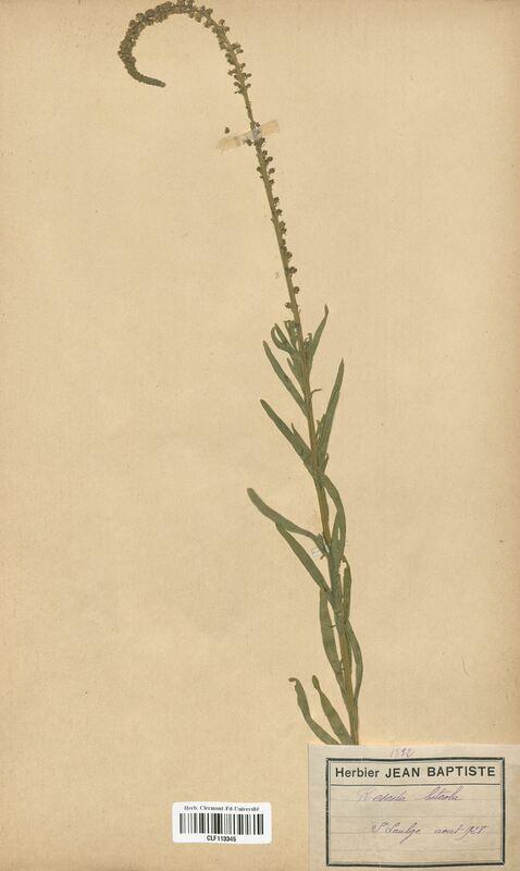 https://bibliotheque-virtuelle.bu.uca.fr/files/fichiers_bcu/Resedaceae_Reseda_luteola_CLF113345.jpg