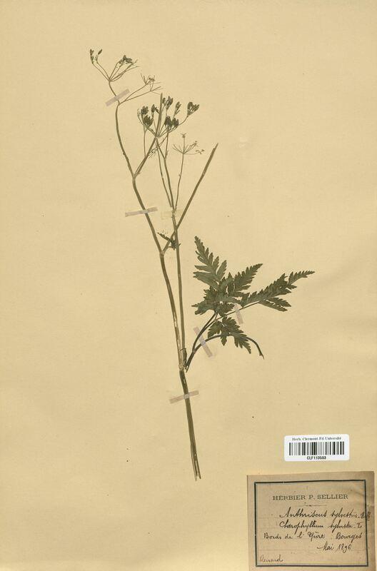 https://bibliotheque-virtuelle.bu.uca.fr/files/fichiers_bcu/Apiaceae_Anthriscus_sylvestris_CLF113503.jpg