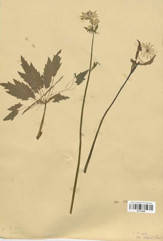 https://bibliotheque-virtuelle.bu.uca.fr/files/fichiers_bcu/Apiaceae_Astrantia_major_CLF113489.jpg
