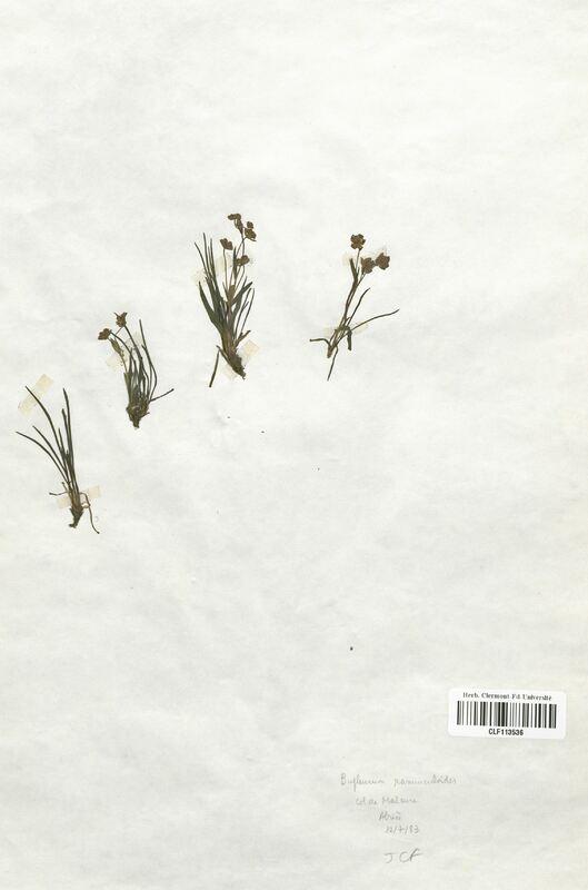 https://bibliotheque-virtuelle.bu.uca.fr/files/fichiers_bcu/Apiaceae_Bupleurum_ranunculoides_CLF113536.jpg