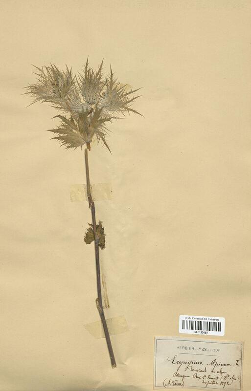 https://bibliotheque-virtuelle.bu.uca.fr/files/fichiers_bcu/Apiaceae_Eryngium_alpinum_CLF113497.jpg