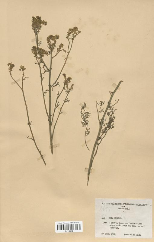 https://bibliotheque-virtuelle.bu.uca.fr/files/fichiers_bcu/Rutaceae_Ruta_montana_CLF113646.jpg