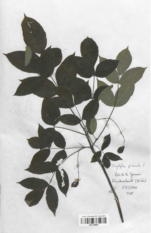 https://bibliotheque-virtuelle.bu.uca.fr/files/fichiers_bcu/Staphyleaceae_Staphylaea_pinnata_CLF113653.jpg