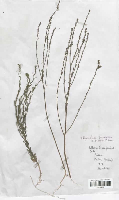 https://bibliotheque-virtuelle.bu.uca.fr/files/fichiers_bcu/Thymelaeaceae_Thymelaea_passerine_CLF113709.jpg