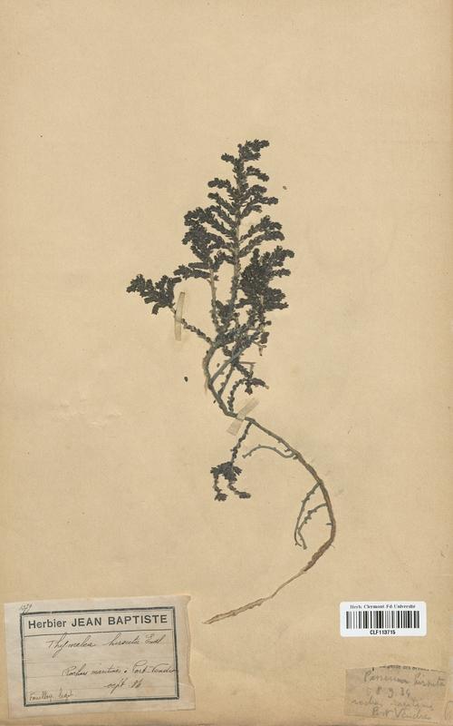https://bibliotheque-virtuelle.bu.uca.fr/files/fichiers_bcu/Thymelaeaceae_Thymelea_hirsuta_CLF113715.jpg