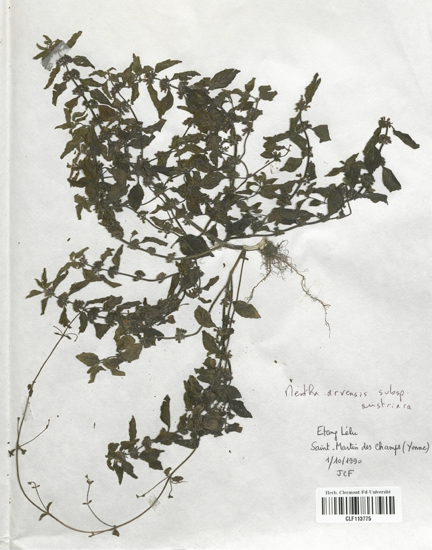 https://bibliotheque-virtuelle.bu.uca.fr/files/fichiers_bcu/Lamiaceae_Mentha_arvensis_austriaca_CLF113775.jpg